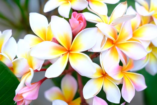 Plumeria flower pink and white tropical flower, frangipani flower blooming on tree, nature background spa flowers.