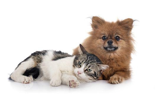 stray cat and spitz