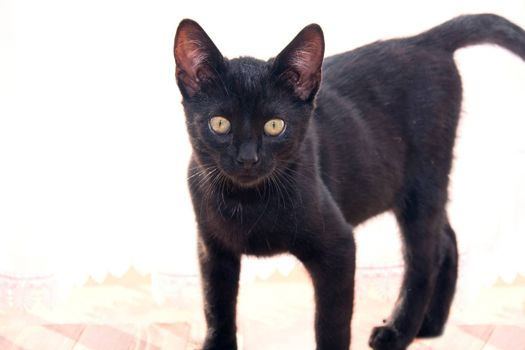 Cute young black cat. Animal. Friday thirteenth bad luck etc concept.