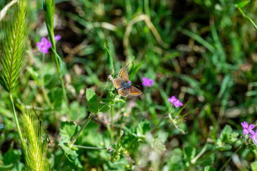 aricia cramera on vegetation and flowers