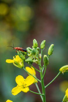 rhagonycha fulva su fiore giallo