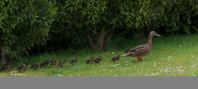 Mother duck with 11 ducklings