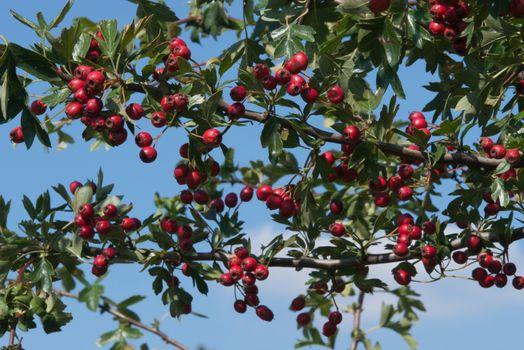 Hawthorn Berries in Summer
