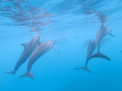 Flock of dolphins playing in the blue water near Mafushi island, Maldives.