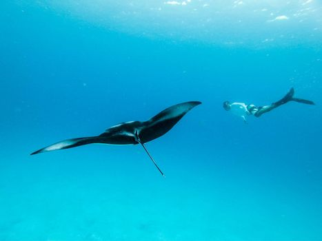 Male free diver and Giant oceanic manta ray, Manta Birostris, hovering underwater in blue ocean. Watching undersea world during adventure snorkeling tour on Maldives islands.