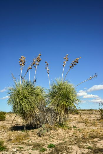 Yucca Tree in a Rocky Desert in New Mexico