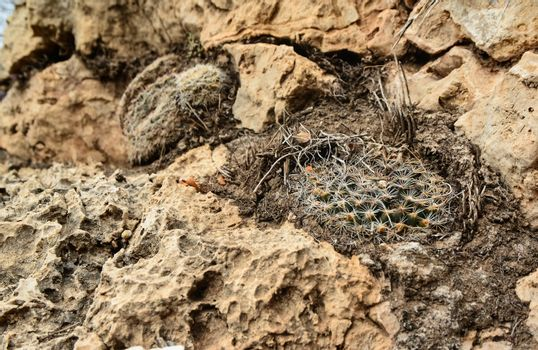 Cactus Mamillaria sp. in the mountains landscape in New Mexico