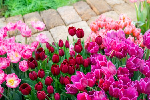 Beautiful flowers pink tulips. Natural background Spring flowering tulips.