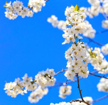 A branch of a blossoming apple tree with snow-white flowers against the background of other branches and a blue sky, selective focus, copy space.