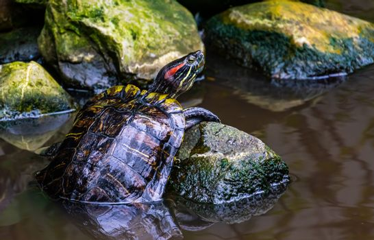 beautiful closeup portrait of a red eared slider turtle, tropical reptile specie from America