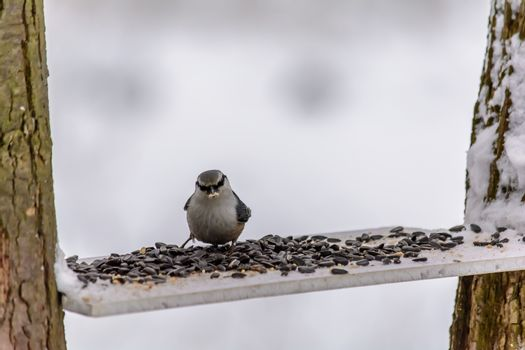Nuthatch pecks grain from the feeder in cold winter