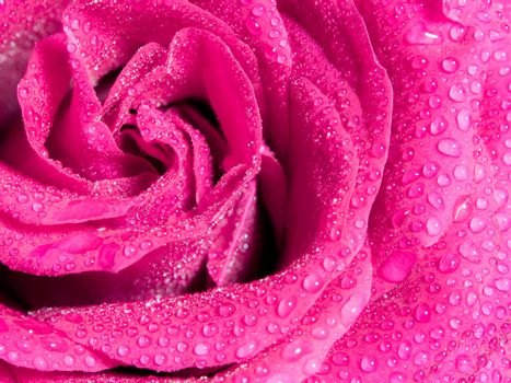 Close up beautiful pink rose , Sweet color natural floral background, Romance color natural floral background