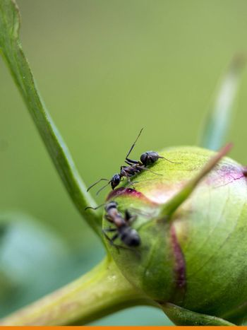 The Ant  (Formica rufa) on roses in the garden.