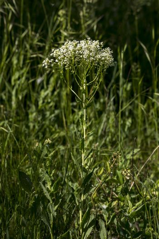 Roadside cress  ( Lepidium draba L. ) of annual weeds.
