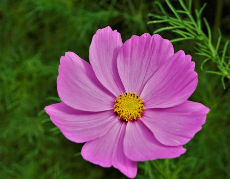 Pink blossom of the garden cosmos Cosmos bipinnatus with yellow florets