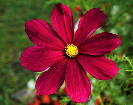 Extraordinary blossom of a Cosmos bipinnatus flower