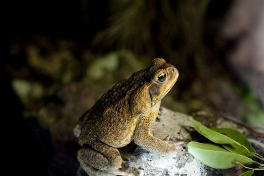 Australian cane toad in profile