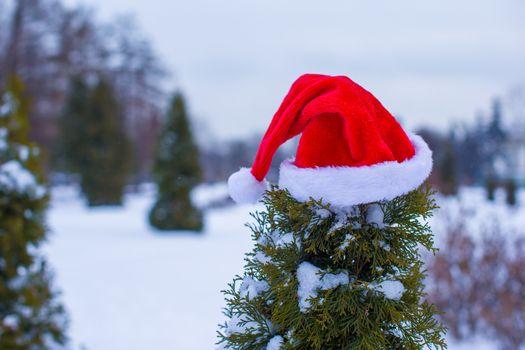Santa hat on spruce bush