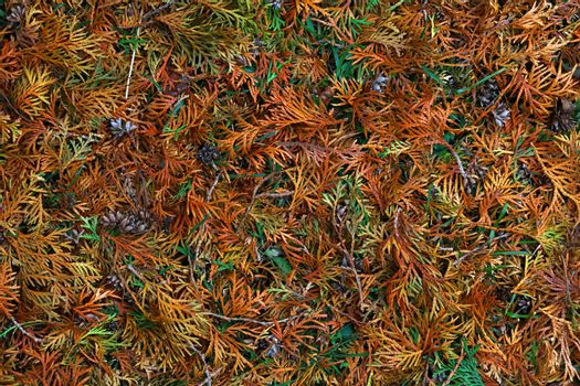 Close up background of autumn thuja cedar leaves
