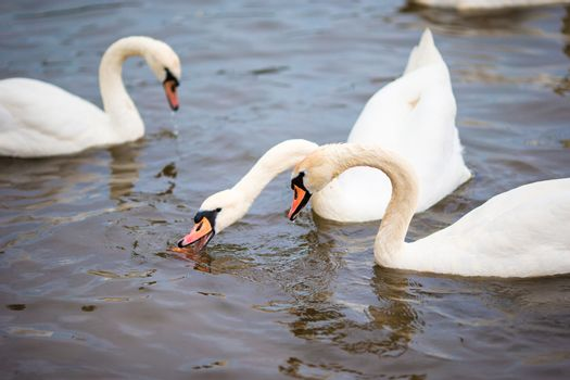 Beautiful swans in Prague river Vltava and Charles Bridge on the background. Karluv Most and white swans