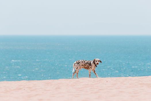 Beautiful dalmatian dog on the beach in Europe