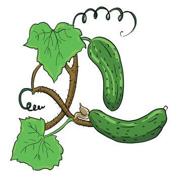 Fresh cucumber , illustration, vector on white background