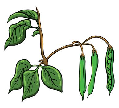 Dry peas , illustration, vector on white background