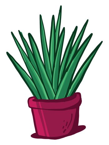 Yucca in pot , illustration, vector on white background