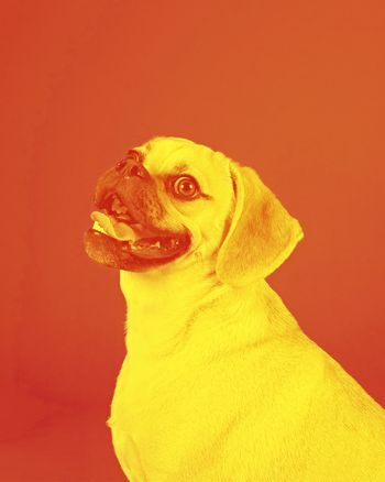 Filter photo of a Portrait of young adorable happy puggle