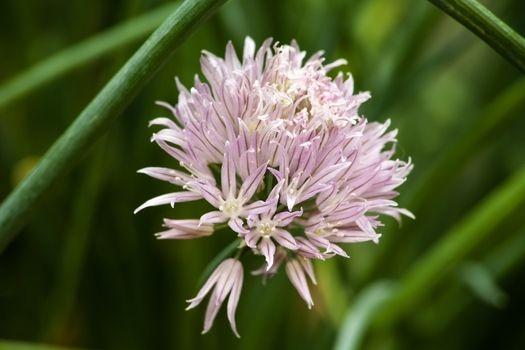 Flower of Chives Allium schoenoprasum 8881