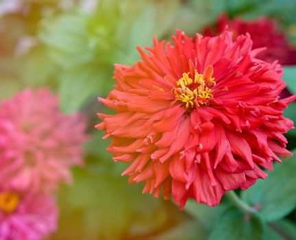 red blooming Zinnia genus of annual and perennial herbs
