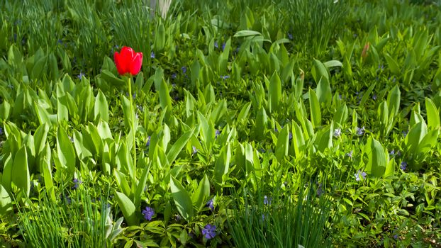 Tulip and other purple flowers.Beautiful flower garden.