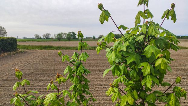 Foliage detail of a tree in a countryside landscape in spring time