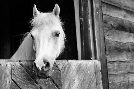 Portrait of a white horse on barn