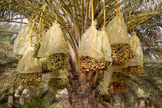 Date palm branches with ripe dates. Tunis.