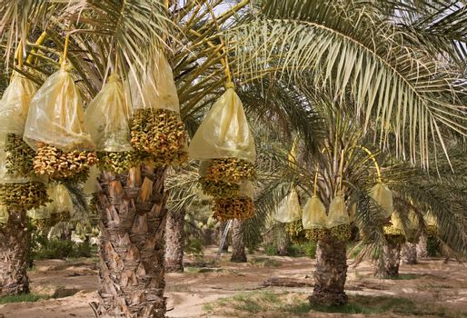 Dates are growing on a palm trees.