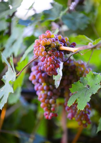 october morning shot of a ripe grapes in wineyard,image