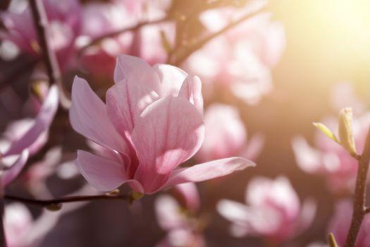 Blooming pink magnolia
