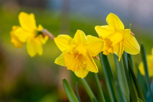 Yellow Narcissus - daffodil on a green background.