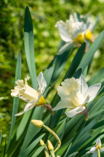 White daffodil (Narcissus)on green background.