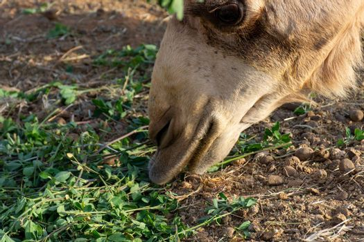 Close-up of a desert dromedary camel eating close up showing in Middle East in the United Arab Emirates with a look at the hairy detail. Dromedary camel (Camelus dromedarius