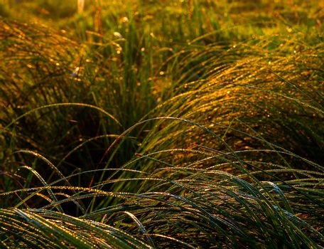 Morning dew on grass in golden early morning light selective focus background