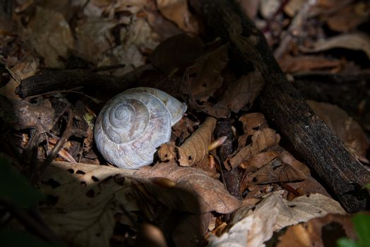 Land snail surrounded with autumn leaves, relaxing photo with brown background