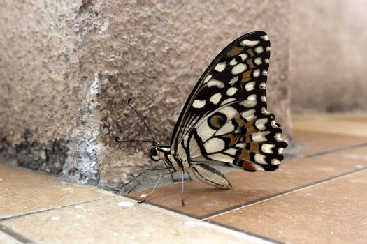 A close up side view of beautiful butterfly with colorful patterns in wings spreading on floor