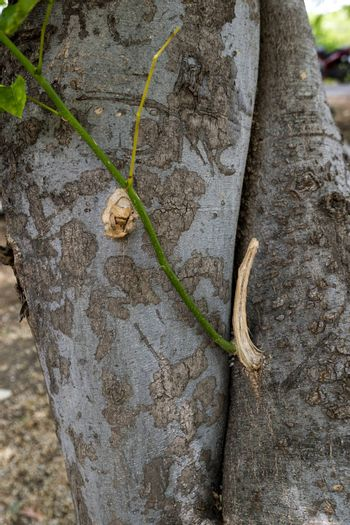 millettia pinnata wood can be used for fuel tree hosts lac insects and is valued as an ornamental plant