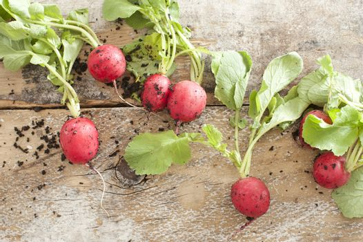 Fresh radishes with soil on a wooden table