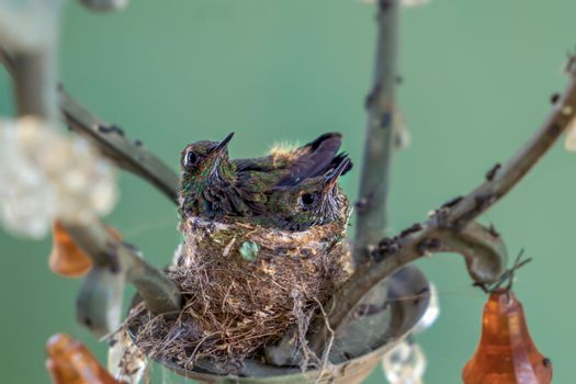 Two hummingbird chicks in the nest. The nest is made in a lamp
