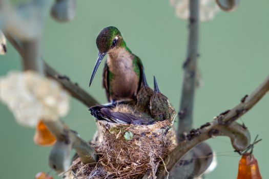 Adult hummingbird in the nest with its two young. The nest is made in a lamp