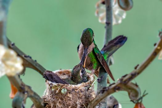 Adult hummingbird feeding its nestlings in the nest. The nest is made in a lamp