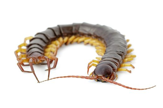 Image of centipedes or chilopoda isolated on white background. Animal. Poisonous animals.